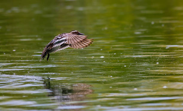 Close-up of duck flying over lake,Dietikon,Switzerland