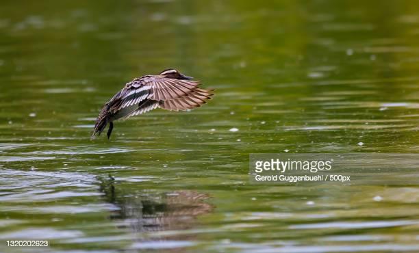 close-up of duck flying over lake,dietikon,switzerland - gerold guggenbuehl stock-fotos und bilder