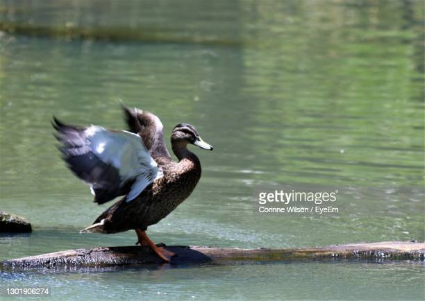 close-up of duck in lake - hamilton new zealand stock pictures, royalty-free photos & images