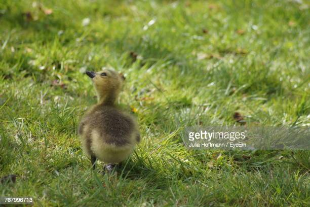 Close-Up Of Duck On Grassy Field