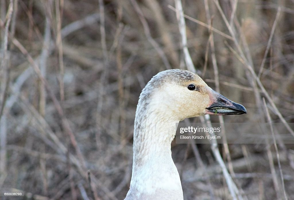 Close-Up Of Duck : Stock Photo