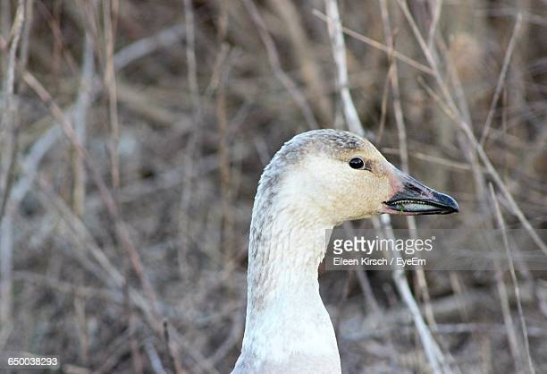 close-up of duck - eileen kirsch stock pictures, royalty-free photos & images