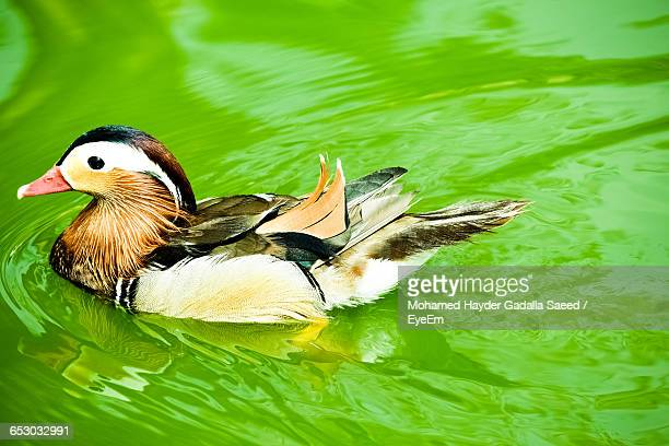 Close-Up Of Duck Swimming In Green Lake