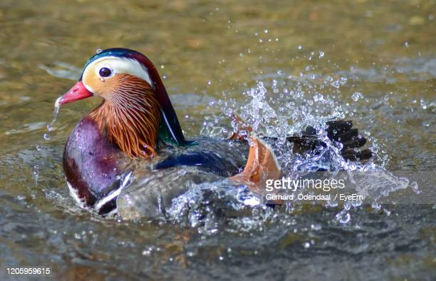 close-up of duck swimming in lake - splashing stock pictures, royalty-free photos & images