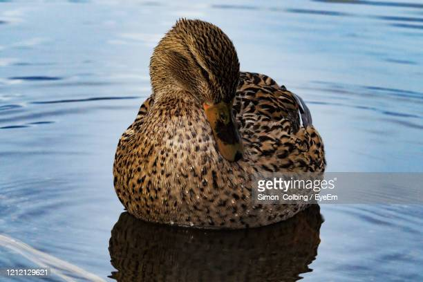 close-up of duck swimming in lake - colbing stock pictures, royalty-free photos & images