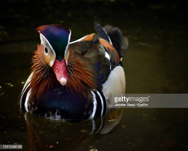 close-up of duck swimming in lake - jennifer reed stock pictures, royalty-free photos & images