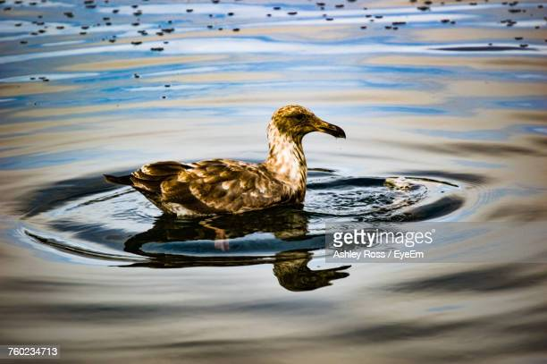close-up of duck swimming in lake - ashley ross stock pictures, royalty-free photos & images