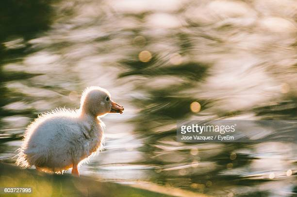 Close-Up Of Duckling Against Pond