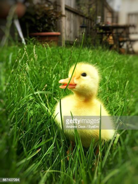 Close-Up Of Duckling On Grassy Field