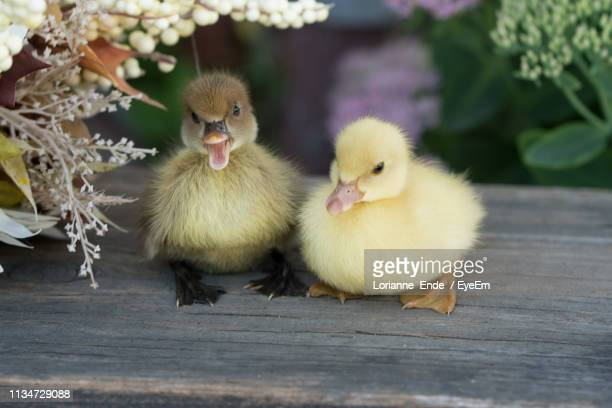 close-up of ducklings amidst flowers in yard - duckling stock pictures, royalty-free photos & images