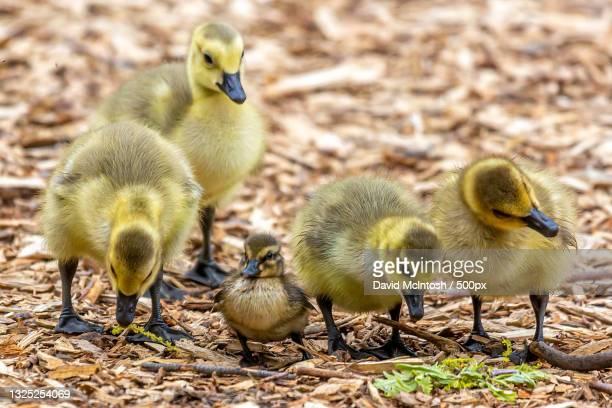 close-up of ducklings,sarnia,ontario,canada - サルニア ストックフォトと画像