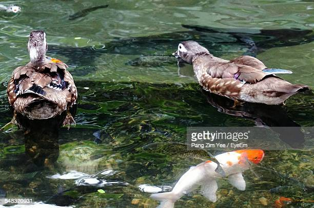 Close-Up Of Ducks And Koi Fish In Water