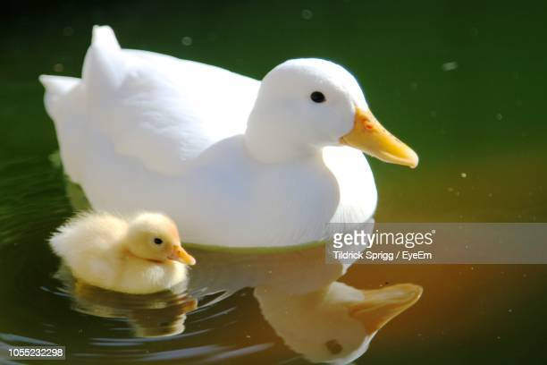 close-up of ducks swimming on lake - duckling stock pictures, royalty-free photos & images