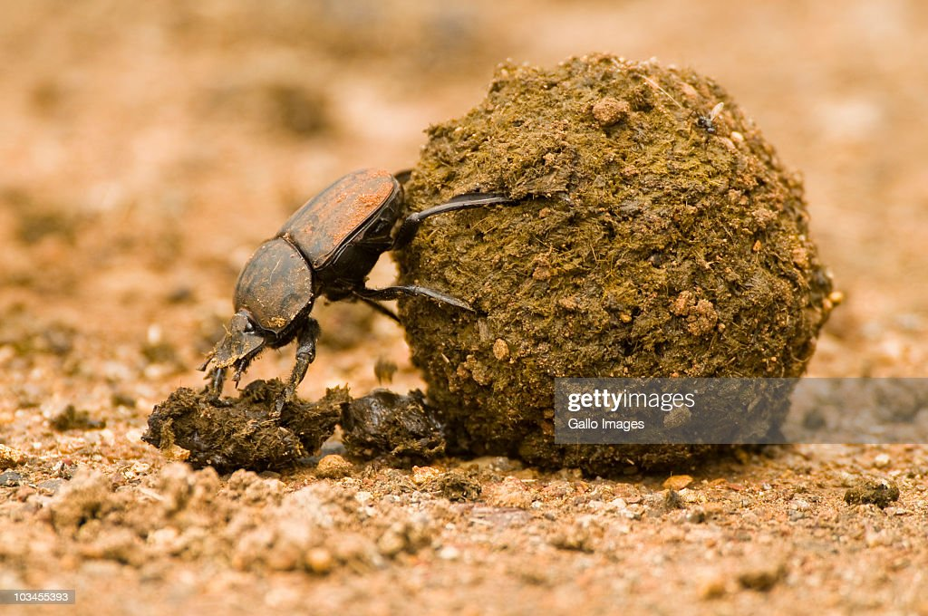Close-up of Dung beetle pushing dung ball, Ndumo Game Reserve, South Africa : Stock Photo