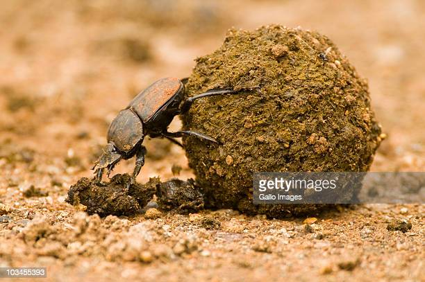 Close-up of Dung beetle pushing dung ball, Ndumo Game Reserve, South Africa