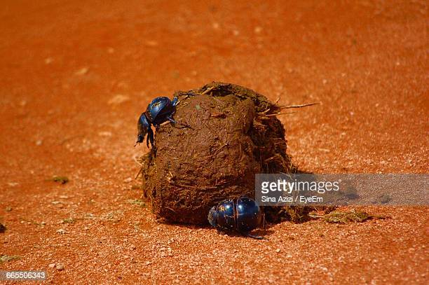 Close-Up Of Dung Beetles