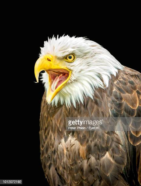 close-up of eagle against black background - snavel stockfoto's en -beelden