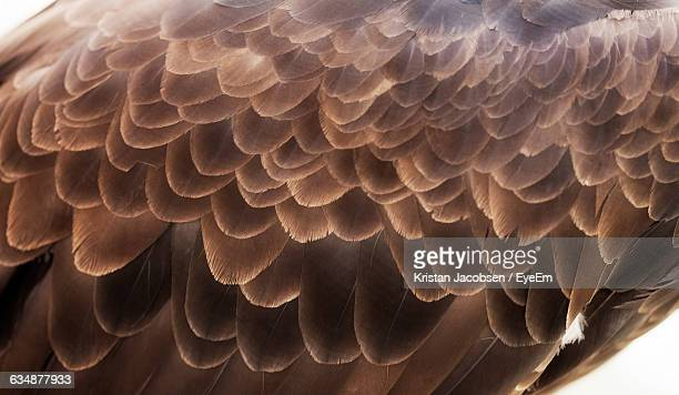 close-up of eagle feathers - eagle stock pictures, royalty-free photos & images