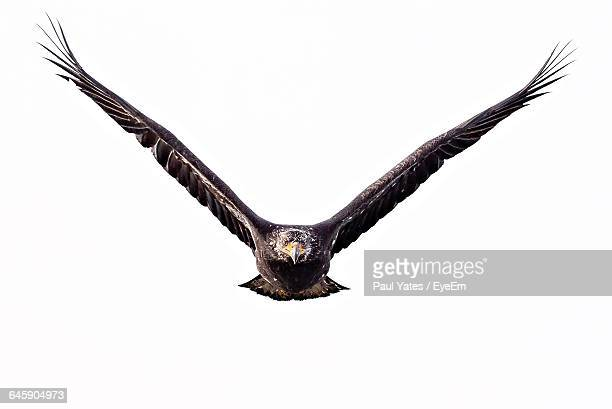 close-up of eagle flying against clear sky - spread wings stock pictures, royalty-free photos & images