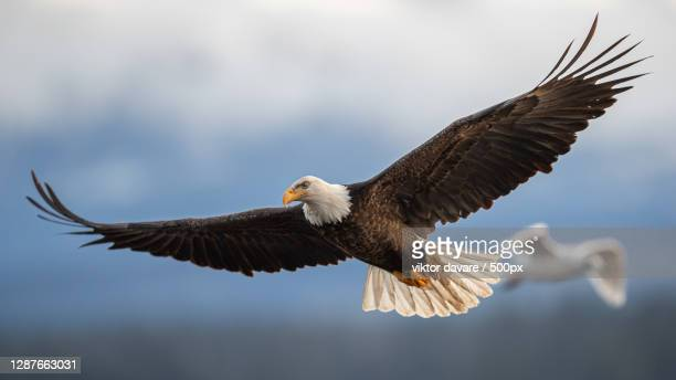close-up of eagle flying against sky,comox valley b,british columbia,canada - canada stock pictures, royalty-free photos & images