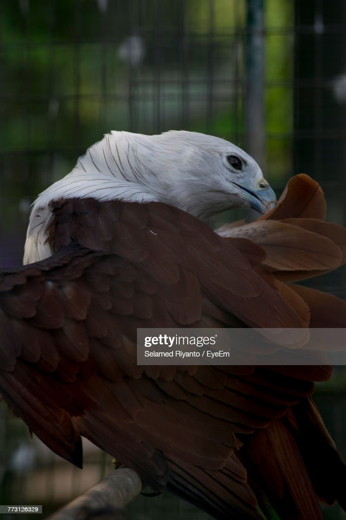 Close-Up Of Eagle In Cage : Photo