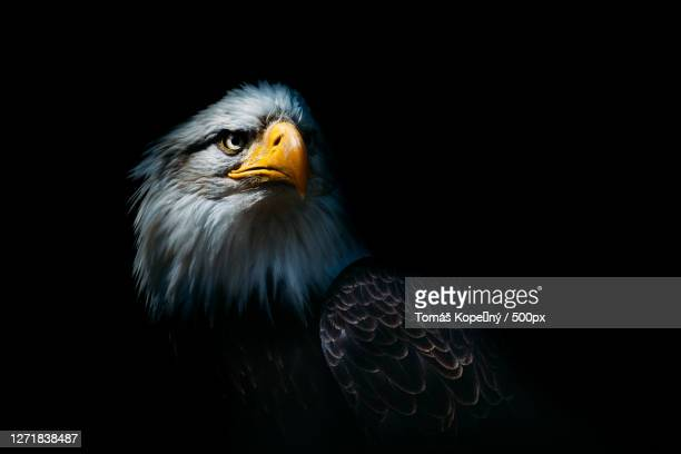 close-up of eagle looking away against black background - images stock pictures, royalty-free photos & images