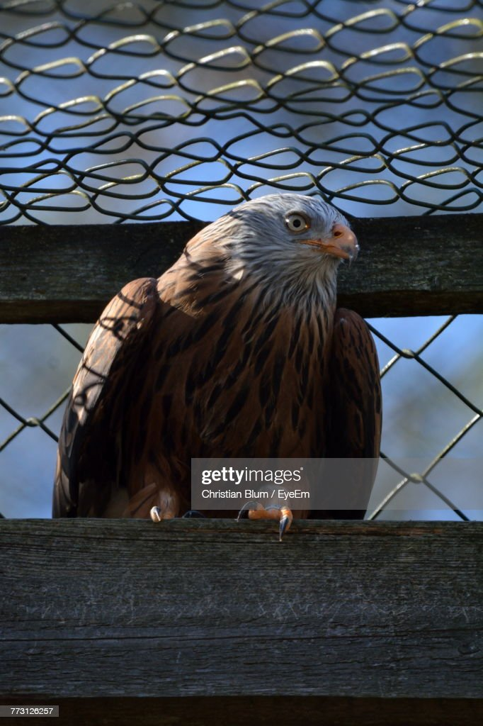Close-Up Of Eagle Perching In Cage : Photo
