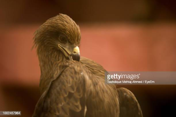 close-up of eagle - guwahati stock photos and pictures