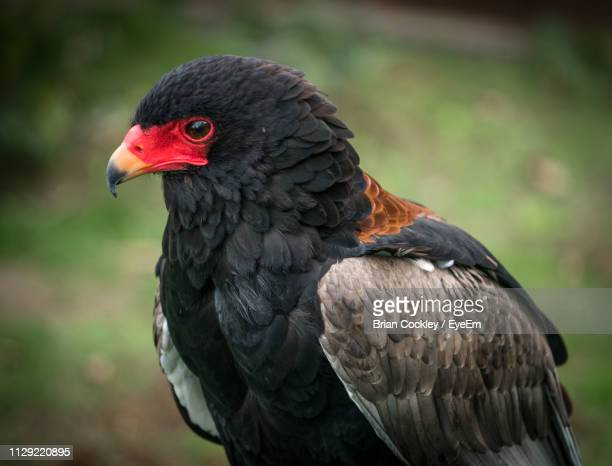 close-up of eagle - cambridge stock pictures, royalty-free photos & images