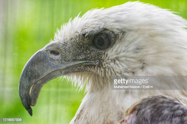 close-up of eagle - muhamad nasrun stock pictures, royalty-free photos & images