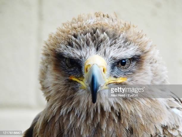 close-up of eagle. - alex reed stock pictures, royalty-free photos & images