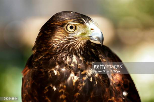 close-up of eagle - lorena day stock pictures, royalty-free photos & images