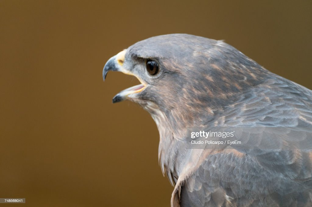 Closeup Of Eagle With Mouth Open Stock Photo | Getty Images
