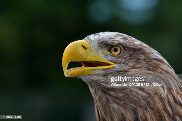 close-up of eagle,sligo,county sligo,ireland - insignia stock pictures, royalty-free photos & images