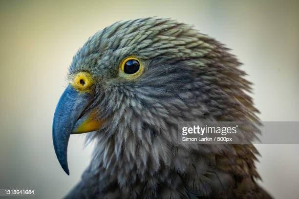 close-up of eagle,west coast,new zealand - new zealand stock pictures, royalty-free photos & images