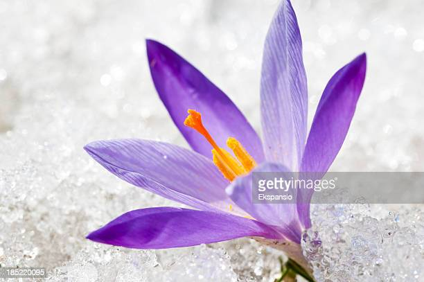 Closeup of Early Spring Crocus in Thawing Snow and Ice