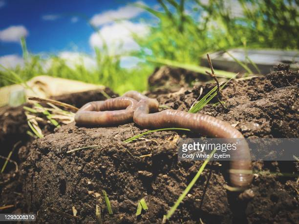 close-up of earth worm - invertebrate stock pictures, royalty-free photos & images