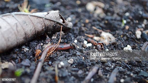 close-up of earthworm on field - earthworm stock pictures, royalty-free photos & images