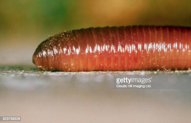 close-up of earthworm - earthworm stock pictures, royalty-free photos & images