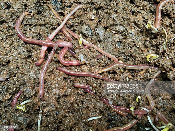 close-up of earthworms on field - earthworm stock pictures, royalty-free photos & images