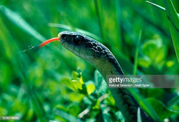 Close-up of Eastern garter snake in grass