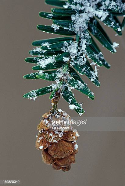 closeup of eastern hemlock cone with snow, tsuga canadensis. grows in acidic soil. michigan, usa  - hemlock tree stock pictures, royalty-free photos & images