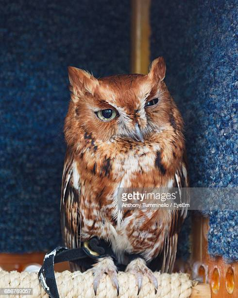 Close-Up Of Eastern Screech Owl Perching On Rope