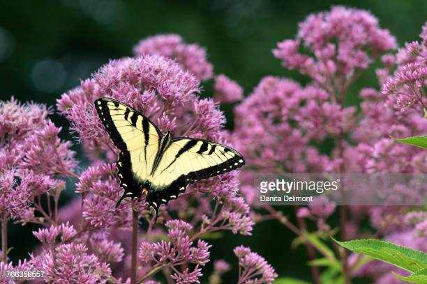 close-up of eastern tiger swallowtail (papilio glaucaus) feeding on joe pye weed (eutrochium purpureum), marion county, illinois, usa - swallowtail butterfly stock pictures, royalty-free photos & images