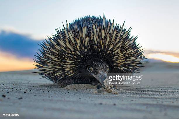 Close-Up Of Echidna At Beach Against Sky