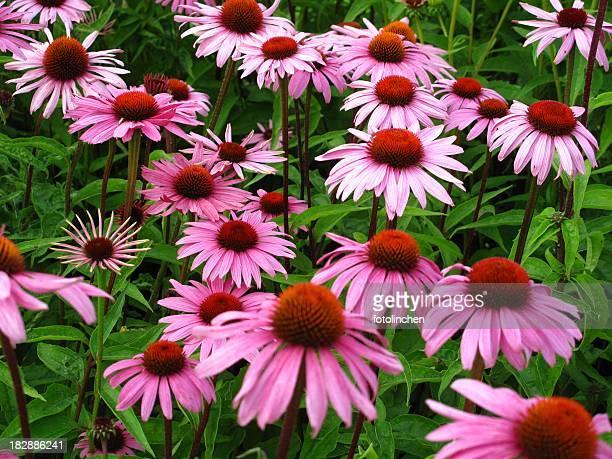 Sonnenhut-Pflanzengattung purpurea