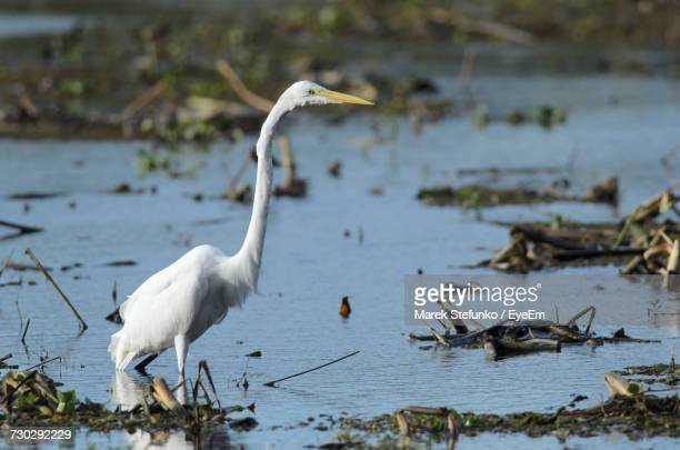 close-up of egret in lake - marek stefunko stock photos and pictures