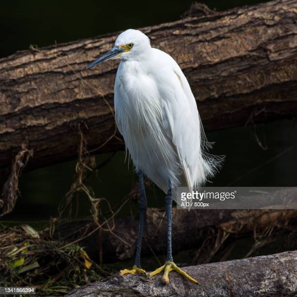 close-up of egret perching on wood,tamworth,united kingdom,uk - waders stock pictures, royalty-free photos & images