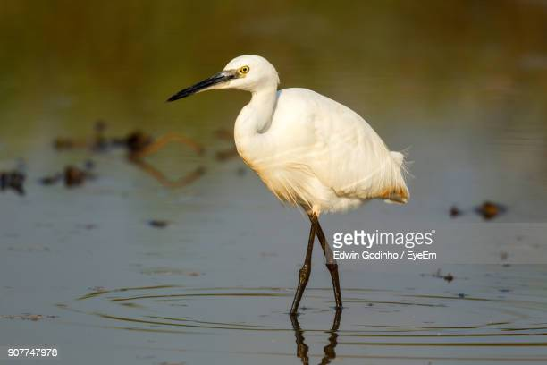 Close-Up Of Egret Perching While Standing In Lake