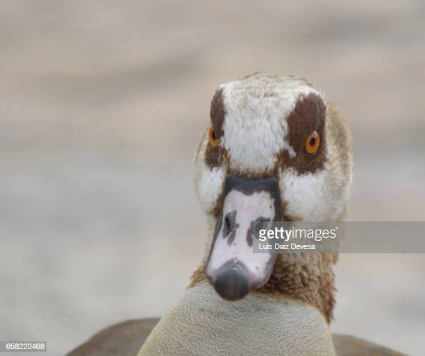 close-up of egyptian goose - foco no primeiro plano stock pictures, royalty-free photos & images